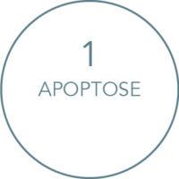 Wirkung Kryolipolyse Behandlung: Apoptose